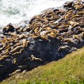 Sea Lions, OR